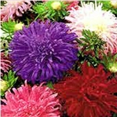 Asters Flowers (Crego Mixed) FL5-100_Base