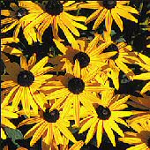 Black Eyed Susan Flowers FL1-100_Base