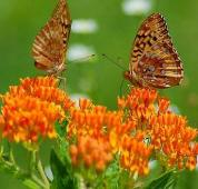 Butterfly Milkweed Flowers FL80-100_Base
