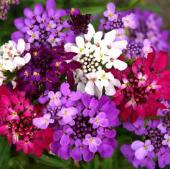 Candytuft Flowers (Fairy Mixed) FL8-100_Base