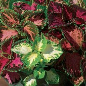 Coleus Flowers (Floral Rainbow Mixed) FL31-100_Base