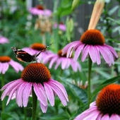 Purple Coneflower Flowers FL108-100_Base