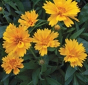 Coreopsis Flowers (Early Sunrise) FL122-100_Base
