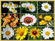 Daisy Flower Mix FL148-100_Base