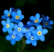 Forget Me Not Flowers (Blue) FL123-100_Base