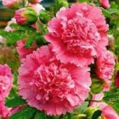 Hollyhock Flowers (Summer Carnival Pink) FL68-100_Base