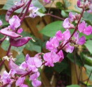 Hyacinth Bean Vine Flowers FL134-20_Base