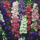 Larkspur Flowers (Tall Mixed) FL14-100_Base