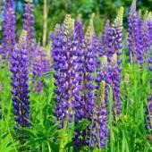 Lupine Flowers (Wild Perennial Purple) FL157-100_Base