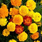 French Marigold Flowers (Dwarf Petite Mix) FL19-100_Base