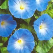 Morning Glory Flowers (Heavenly Blue) FL104-50_Base