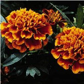 Marigold Flowers (Janie Flame) FL101-25_Base