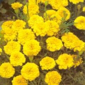 Marigold Flowers (Janie Bright Yellow) FL103-50_Base
