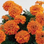 French Marigold Flowers (Janie Deep Orange) FL17-50_Base