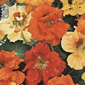 Nasturtium Flowers (Jewel Mixed) FL135-50_Base