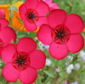 Scarlet Flax Flowers FL130-100_Base