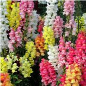 Snapdragon Flowers (Magic Carpet Mixed) FL41-100_Base