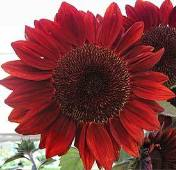 Sunflower Flowers (Red Sun) FL45-50_Base