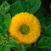 Sunflower Flowers (Dwarf Teddy Bear) FL23-50_Base