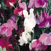 Sweet Pea Flowers (Old Spice Mix) FL119-50_Base