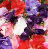 Sweet Pea Flowers (Royal Mixed) FL24-50_Base