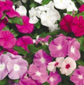 Vinca Flowers (Pacifica Mix) FL47-100_Base