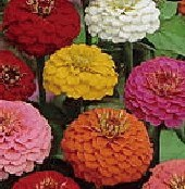Zinnia Flowers (Lilliput Mixed) FL124-100_Base
