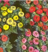Zinnia Flowers (Thumbelina Mixed) FL28-100_Base