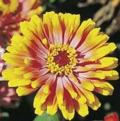 Zinnia Flowers (Whirligig Mixed) FL95-100_Base