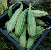 Luffa Gourds GD8-10_Base