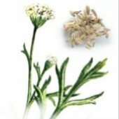 Anise HB1-100