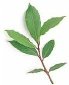Bay Laurel Tree (Bay Leaves) TR16-5_Base