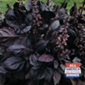 Dark Opal Purple Basil HB86-100
