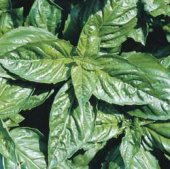 Italian Large Leaf Basil HB10-100_Base