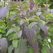 Red Leaf Basil HB183-100