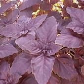 Red Rubin Basil HB13-100_Base