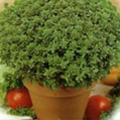 Spicy Globe Bush Basil HB15-100