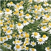 German Chamomile HB22-100_Base