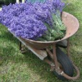 English Lavender HB158-100_Base