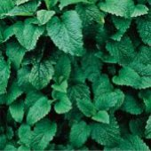 Lemon Balm HB45-100_Base