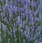 Munstead Lavender HB120-100_Base