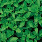Greek Oregano HB54-100_Base