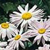 Pyrethrum (Certified High Potency) HB77-100_Base