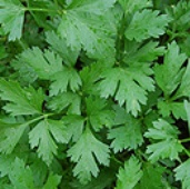 Giant Italian Parsley HB151-100
