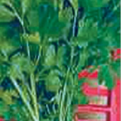 Gigante Catalogno Parsley HB149-100
