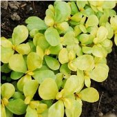 Purslane (Golden) HB187-100_Base