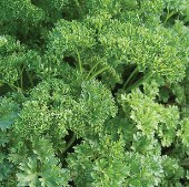 Tripled Curled Parsley HB167-100