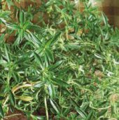 Summer Savory HB134-100_Base