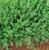 Winter Savory HB162-100_Base