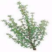 French Thyme HB102-100_Base